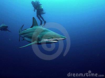 Blacktip shark and Bull Shark