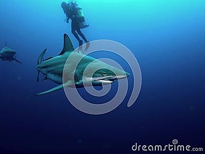 Blacktip shark and Bull Shark
