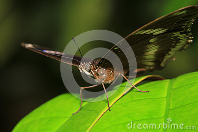 Blackvein sergeant butterfly(Athyma ranga)