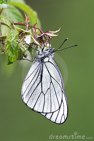 Blackveined thorn butterfly (Aporia crataegi)