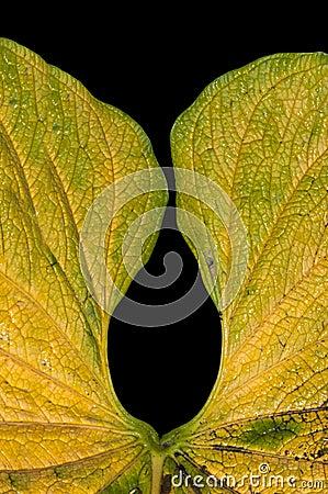 Blad van Anthurium