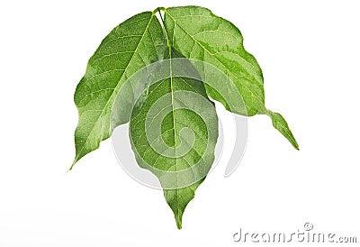 Blad van een wisteria