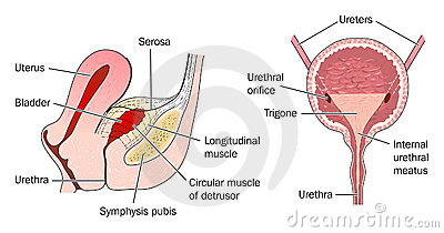 Bladder anatomy and relation to uterus