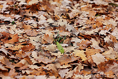 Blade of grass among oak s leafs