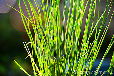 Blades of Green Grass in the Sunlight