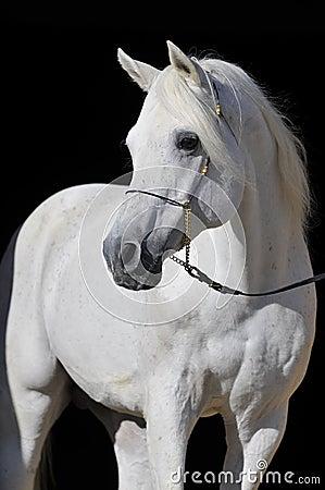 Blanc Arabe d étalon de verticale de cheval