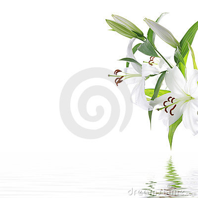 Blanc de station thermale de lilium de fleur de conception de fond