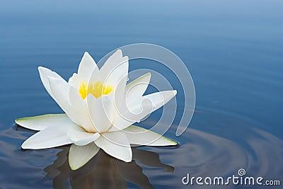 Blanco lilly en el lago