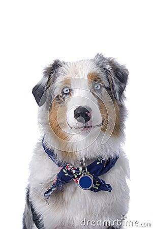 Blauäugiger australischer Schäferhund auf Weiß