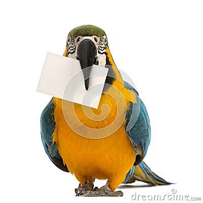 Blau-und-gelber Macaw, Ara ararauna, 30 Jahre alt, eine weiße Karte in seinem Schnabel anhalten