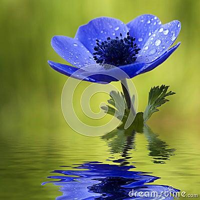 blaue anemone blume mit waterdrops stockfoto bild 4668090. Black Bedroom Furniture Sets. Home Design Ideas