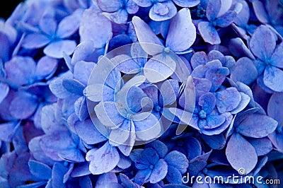 blaue blumen nahes hohes lizenzfreie stockfotografie bild 13237667. Black Bedroom Furniture Sets. Home Design Ideas