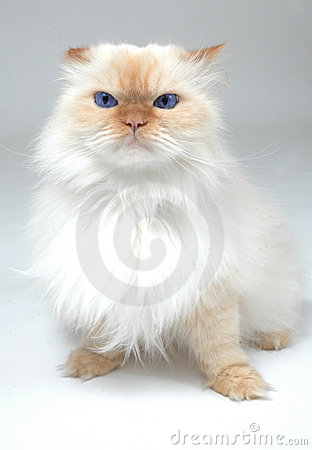 Blaue gemusterte weiße Katze