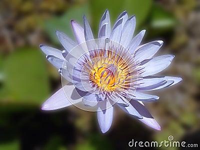 Blaue Lilien-Blume