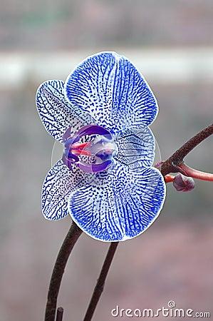 blaue orchidee stockfotografie bild 2563792. Black Bedroom Furniture Sets. Home Design Ideas