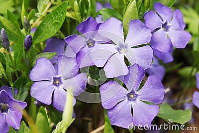 blaue fr hlingsblumen stockfoto bild 30014320. Black Bedroom Furniture Sets. Home Design Ideas