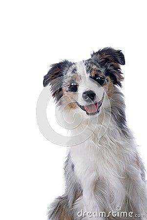Blauäugiger australischer Minischäferhund