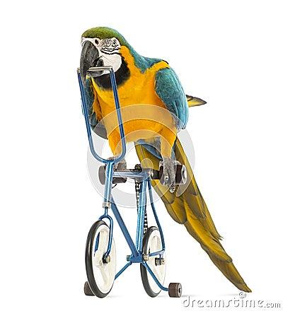 Blauw-en-gele Ara, ararauna die van Aronskelken, 30 jaar oud, een blauwe fiets berijden