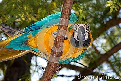 Blauw-en-gele Ara (ararauna van Aronskelken)