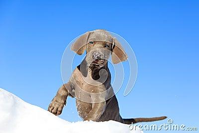 Blauw puppy