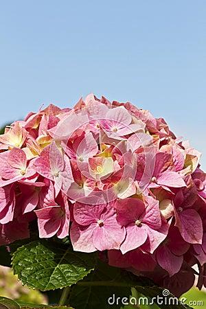 Blauwe hemel en roze bloemblaadjes