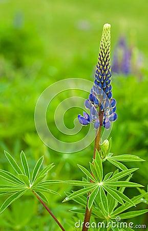 Blauwe lupine