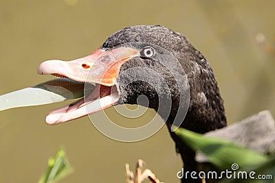 Blck swan