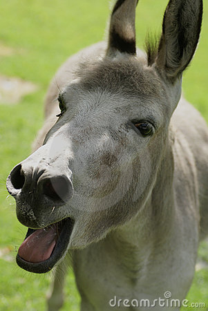 Bleating donkey.