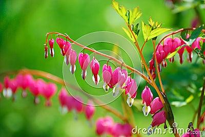 Bleeding Heart flowers ( Dicentra spectabilis)