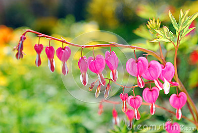 Bleeding Heart flowers ( Dicentra spectabilis)