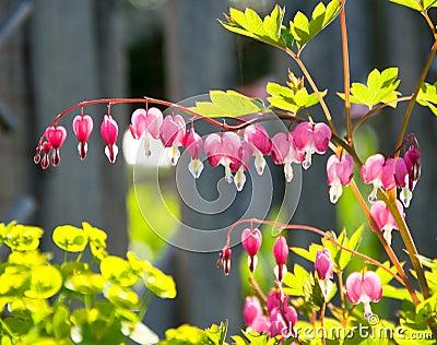 Bleeding Heart Flowers In Garden
