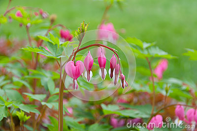 Bleeding heart flowers  in spring garden.