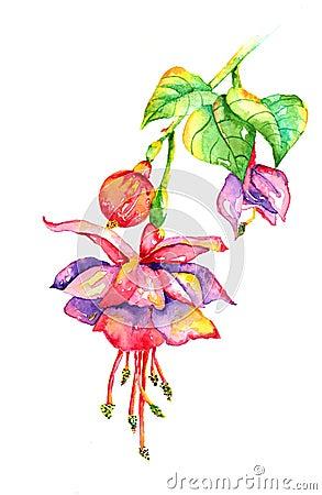 Free Bleeding Heart Fuchsia Watercolor Royalty Free Stock Photos - 60175028