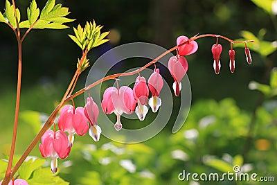 Bleeding heart, perennial herb in the garden