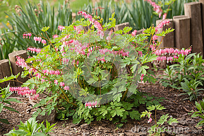 Bleeding Heart plant in the spring garden