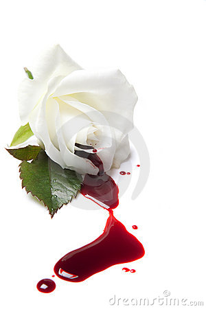 Free Bleeding White Rose Stock Photo - 17715550