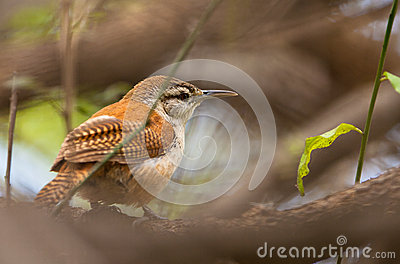Bleek-legged Hornero Vogelclose-up Stock Fotografie - Beeld: 25496882