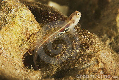 Blenny (Alloblennius pictus)