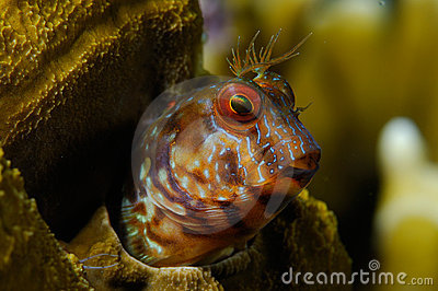 Blenny close-up