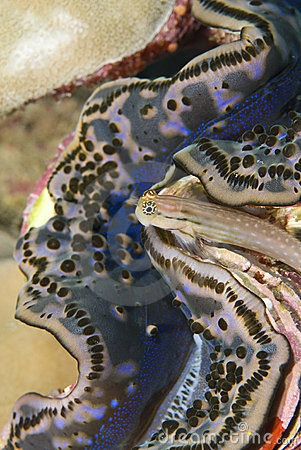 Free Blenny Seeking Shelter Close To A Clam. Stock Photo - 16229010