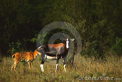 Blesbok Female with Young