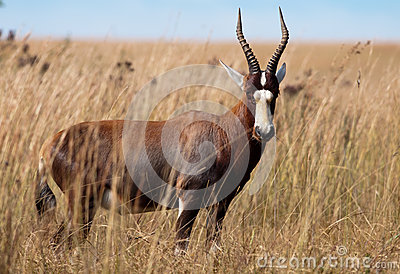 Blesbok regardant fixement l appareil-photo