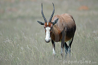 Blesbuck Royalty Free Stock Image - Image: 420926