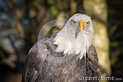 Bli skallig örnen