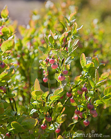 Bliberry flowers