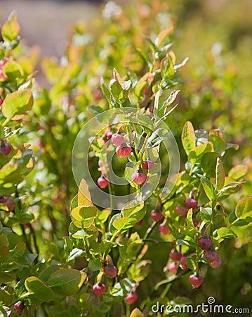 Bliberry flowers