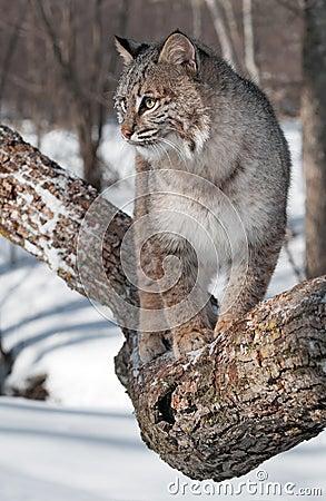 Blickar för Bobcat som (lodjurrufus) lämnas från trädfilial
