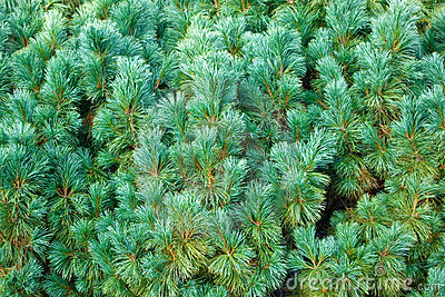 Blie Pine Royalty Free Stock Images - Image: 12773949
