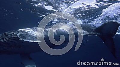 Bliski widok podwodny wieloryba w ciemnych wodach oceanicznych pływających głęboko w promieniach słonecznych zbiory