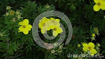 Blisko żółtych kwiatów Krzew z kwiatami poruszającymi się na wietrze Botanika, tło ogrodnicze zbiory wideo